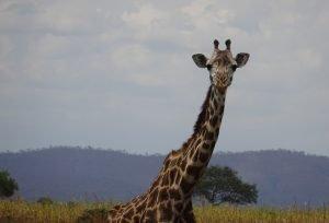 Giraffe at Mikumi National Park